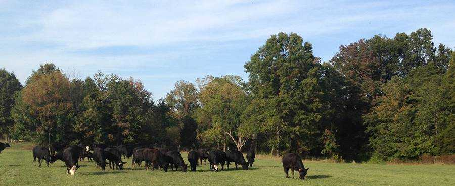 A herd of cattle grazing in a field  Description automatically generated with medium confidence